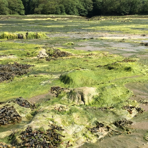 Seaweed mats resulting from nitrate run-off - photo by Sue Burton