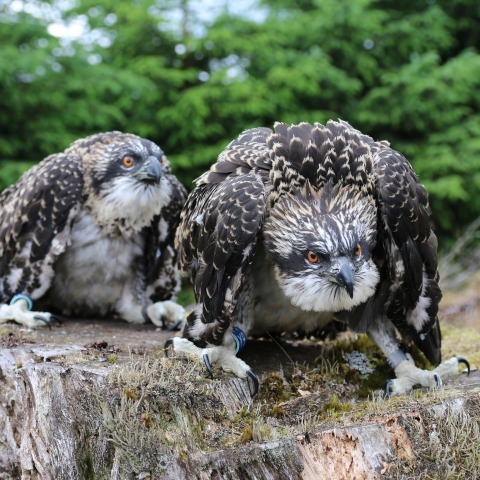 Ospreys of Kielder