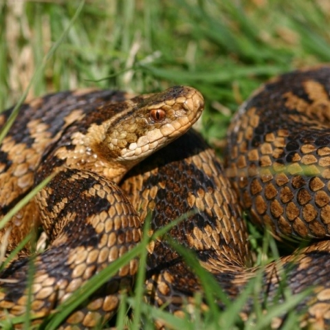 Adders - the UK's only venomous snake