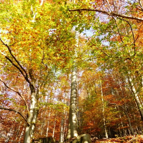 Beech woodland in Northumberland