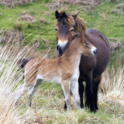 Exmoor ponies by Sue Baker