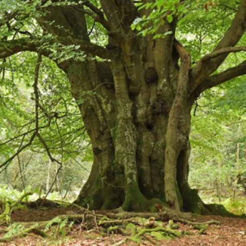 Ancient trees of the New Forest National Park