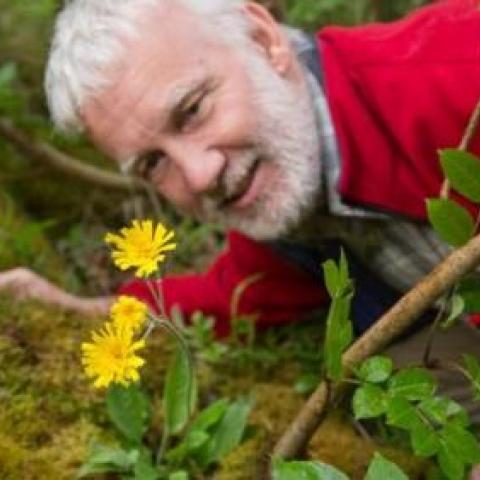 Leek coloured hawkweed in the Peak District