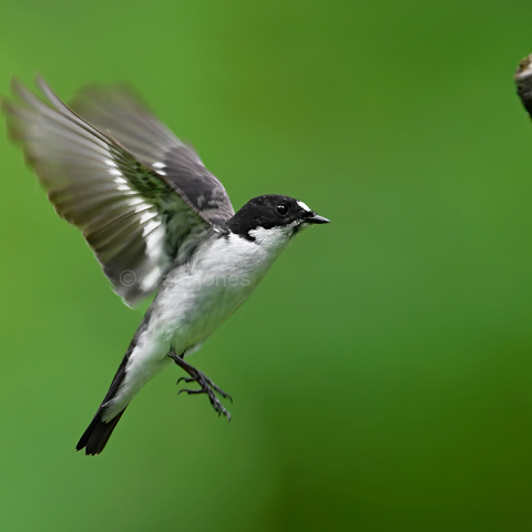 Pied flycatcher in flight by Craig Jones