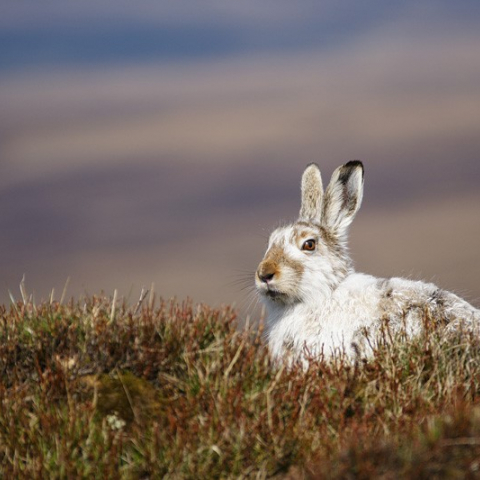 Mountain hare by Tom Aspinall