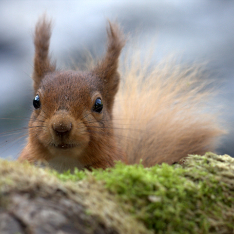 Should National Parks lead a resurgence in the red squirrel