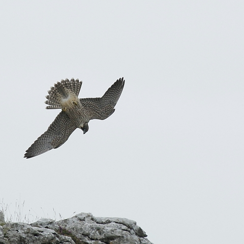Peregrine falcon in Malham, Yorkshire Dales