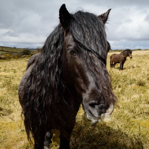 Dartmoor's iconic hill pony