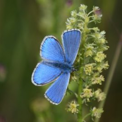 Adonis blue butterfly. Photo credit: SDNPA