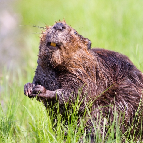 Beavers in our National Parks? Picture via unsplash