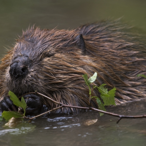 Beavers might return to the North York Moors