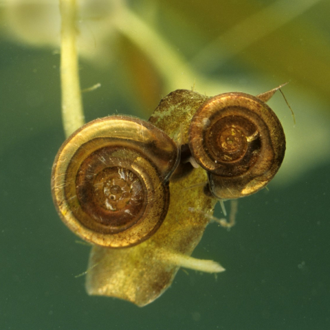 Little whirlpool ramshorn snails by Paul Sterry Nature Photographers Ltd