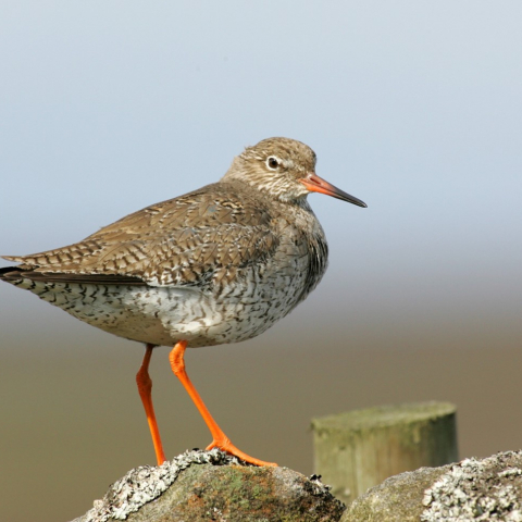 Red shank in the Yorkshire Dales