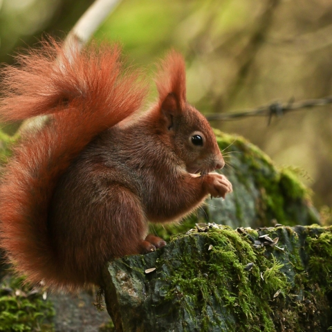 Red squirrel by Alan Jones