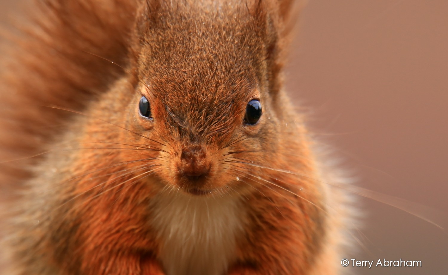 Red squirrel by Terry Abraham