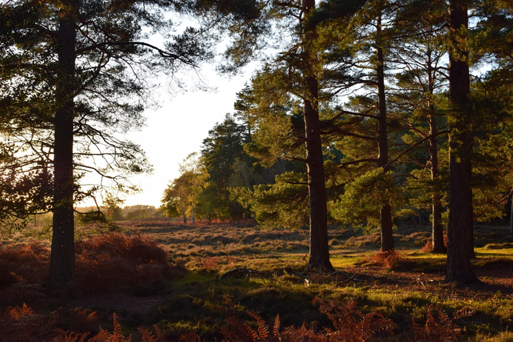 New Forest by Gillian Thomas