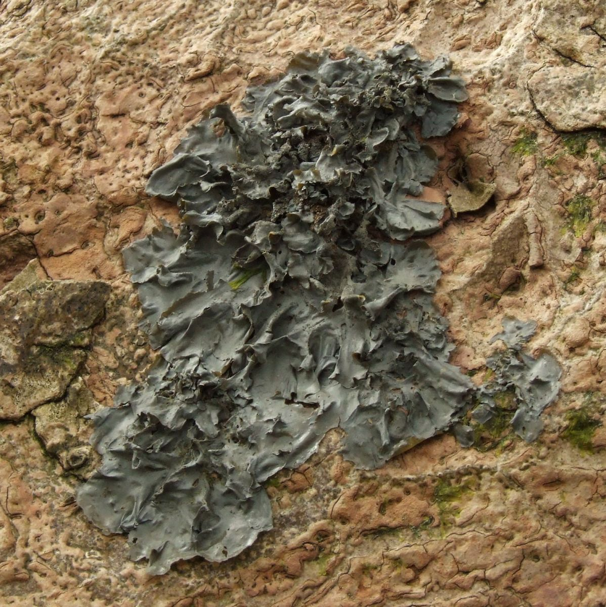 Blue jelly-skin lichen