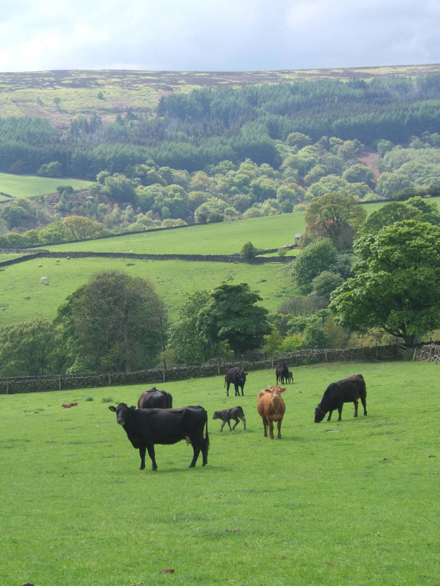 Cattle in the North York Moors