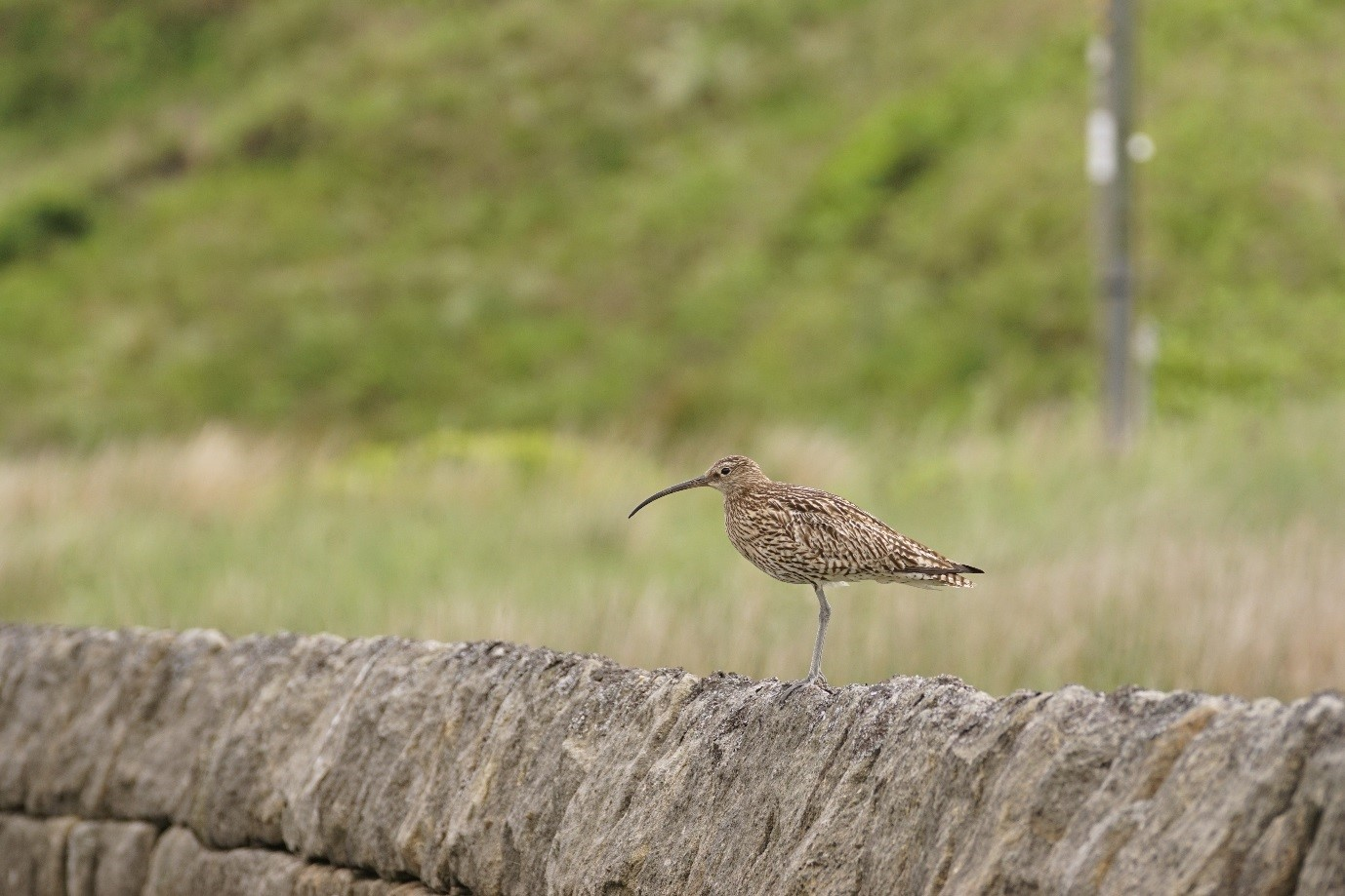 Curlew in the Peak District by Tom Aspinall