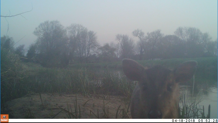 Deer caught on camera in the Broads