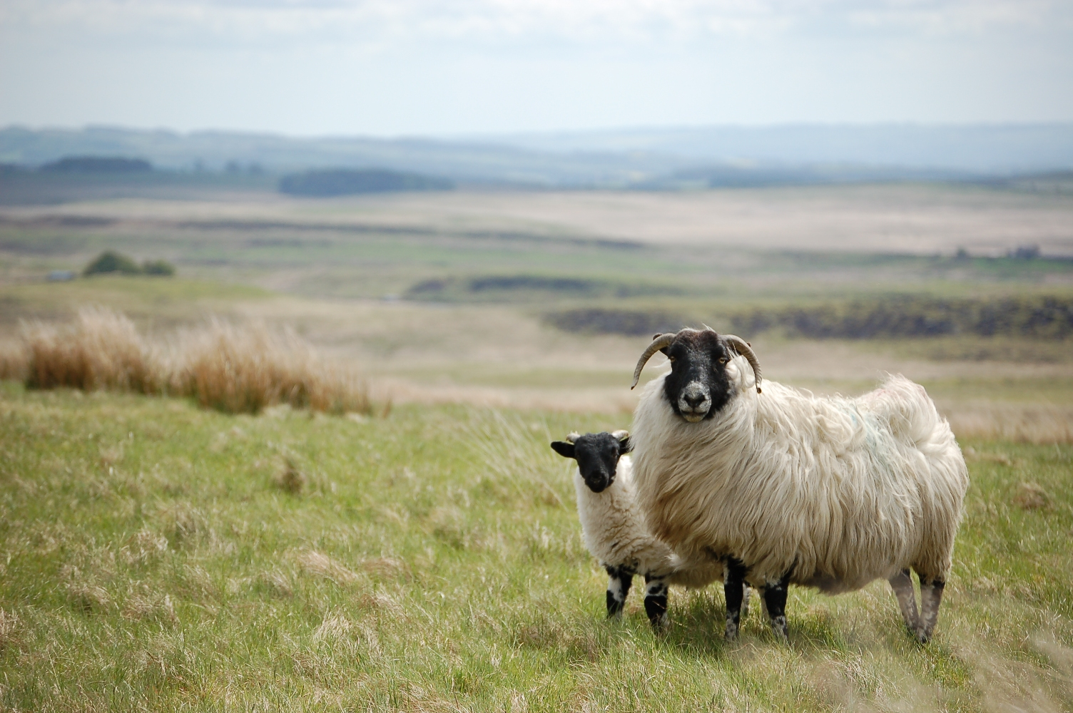 Ewe and Lamb in Northumberland National Park