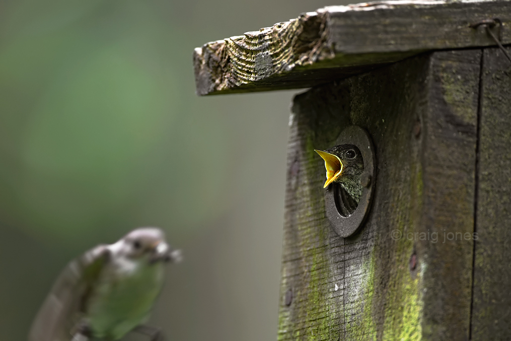 flycatcher chick by Craig Jones