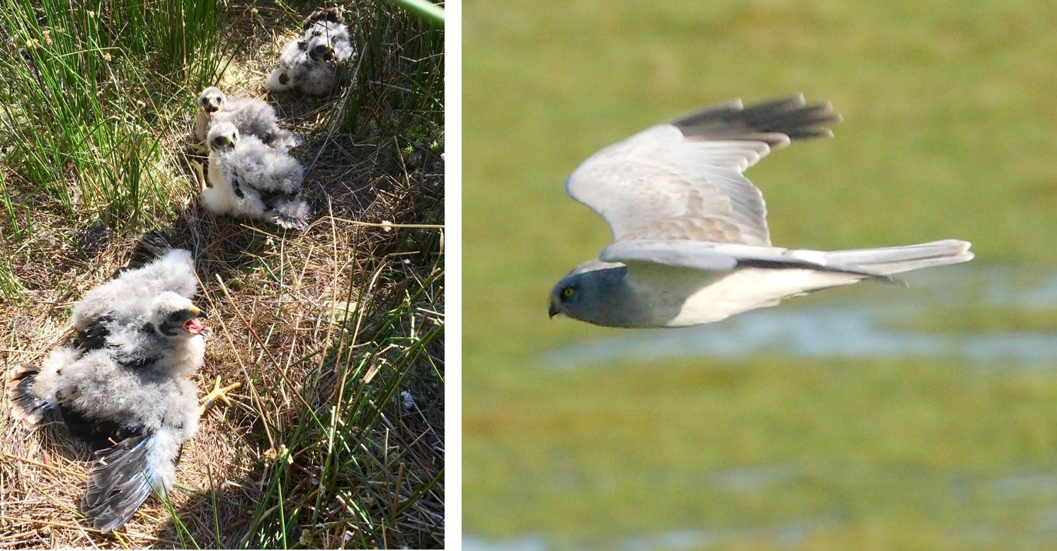 Hen harriers are in the spotlight
