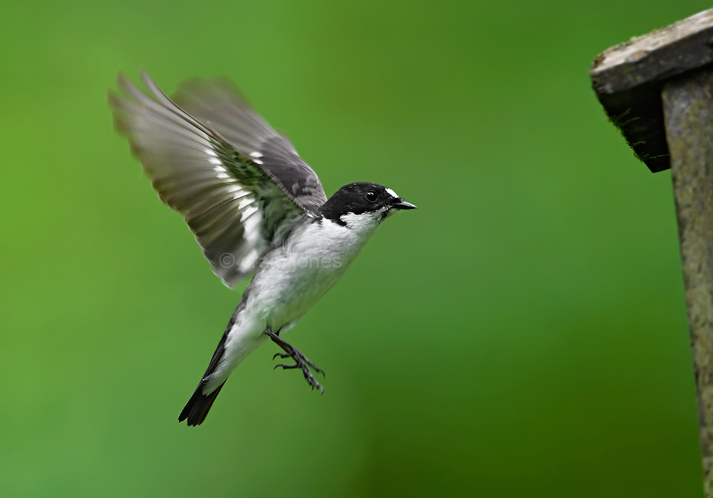 Male flycatcher in flight by Craig Jones
