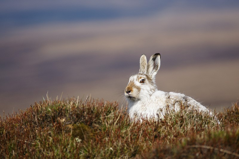 Mountain hare in winter coat. By Tom Aspinall