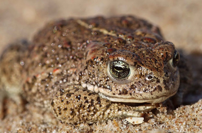 Natterjack Toad by Matt Wilson