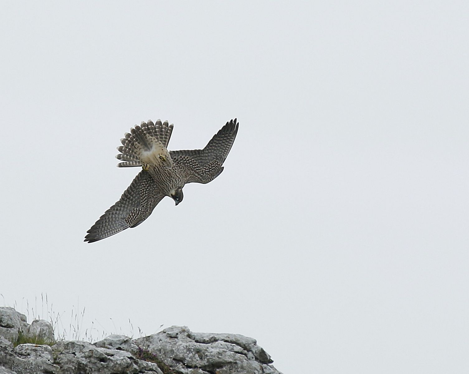 Peregrine falcon at Malham by Dave Dimmock