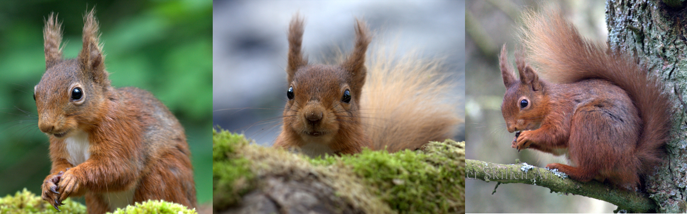 Should National Parks lead the way for a red squirrel resurgence?