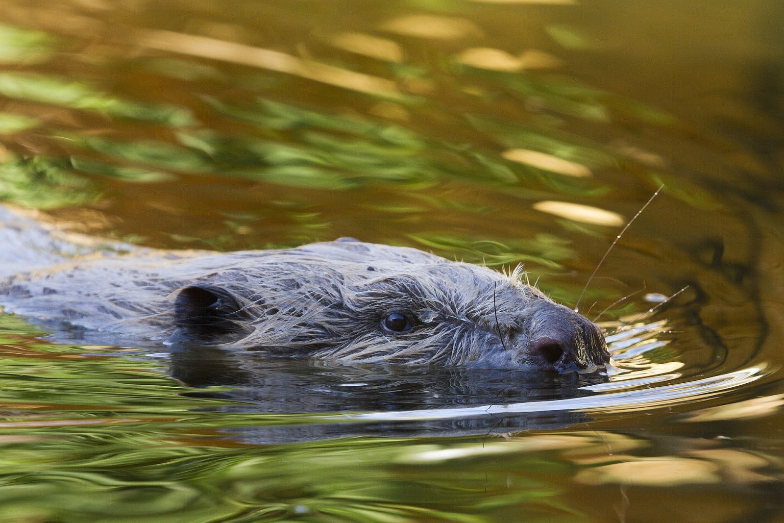Could we see beavers return to National Parks?