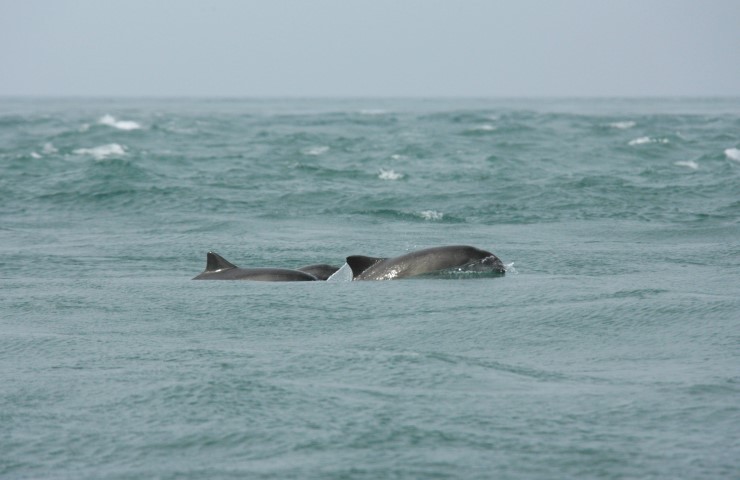 Porpoise off the coast of Pembrokeshire by Janet Baxter