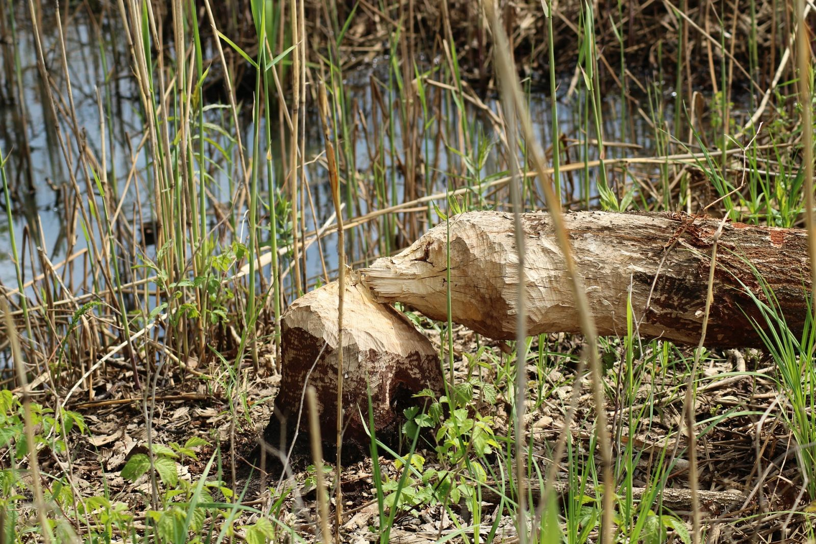 Could beavers deliver changes to the environment and inspire conservationists?